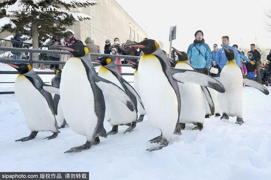 旭山动物园当日举行了企鹅游行活动
