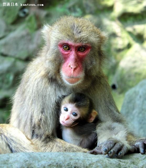 """日本动物园举行猴子选美 小猴""""夏洛特""""夺冠"""