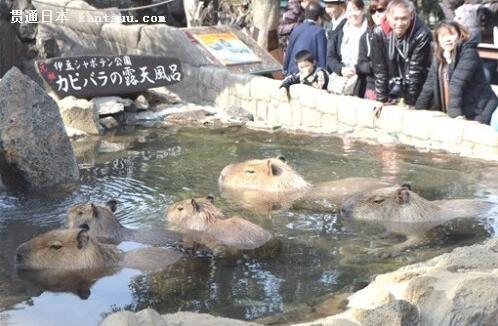 日本一动物园举办水獭泡温泉比赛吸引大批游客围观
