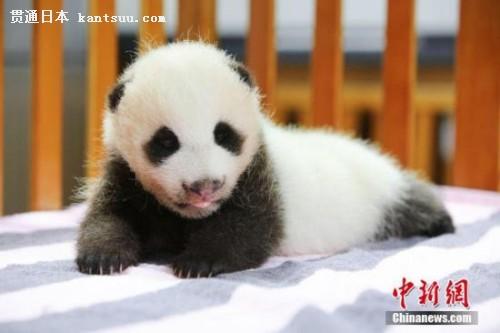 日本动物园给大熊猫宝宝命名