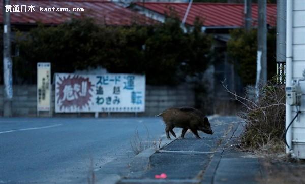 此番猎杀野猪行动,富冈町两周时间已经清理300头。浪江町町长表示,人们离开这里后,野猪下山占领了城镇。这里舒适且食物充足,又缺少人的捕杀,现在它们已经不回去了。 此外,由于辐射影响,这些野猪都发生了变异,所以并不会被食用,而是做毁灭处理,当然这里其它动物、生物也受到了辐射的影响,当你走在园区内,那感觉非常吓人。