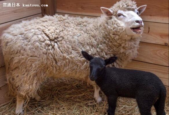 当地时间2017年6月3日,日本千叶市动物园内一只罕见的黑色考力代羊小羔羊。考力代羊是全身被毛为白色的品种,但是由于基因突变,才有了这只罕见的黑色羊羔。 据悉,这只黑色的小羊羔诞生于5月21日,目前它还只有42厘米高。图为黑色小羊羔与它的妈妈。 考力代羊一般通体白毛,诞下黑色小羊的几率非常罕见,这是基因突变造成的。图为黑色小羊羔与它的妈妈。 原标题:日本动物园白羊妈妈诞下纯黑小羊 值班主任:颜甲