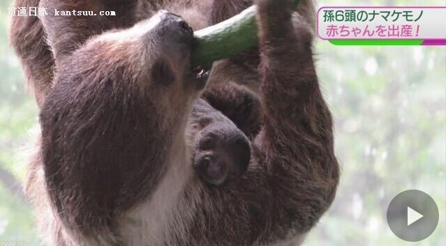 """日本千叶市动物园""""奶奶级""""树懒近日""""喜得贵子"""""""