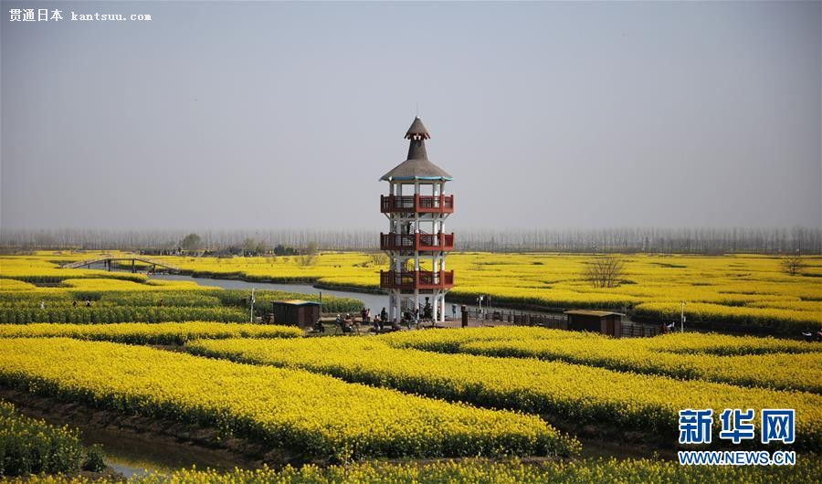 春真っ盛り、水�_を黄色く染める�洪_の菜の花�x